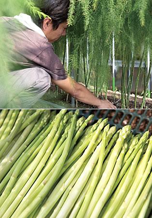 写真:上:育っているアスパラガスの世話をしている姿。下:収穫されたアスパラガス。